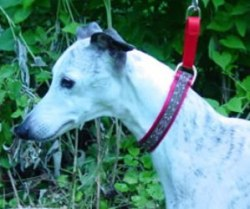 """Flirt"" modeling a one inch martingale collar"