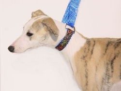 """Cresta"", a whippet puppy is modeling the small breed slip lead"